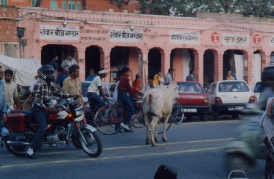 A cow ignoring the rules of the road in Jaipur
